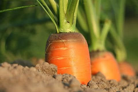Carrots Cancer Prevention